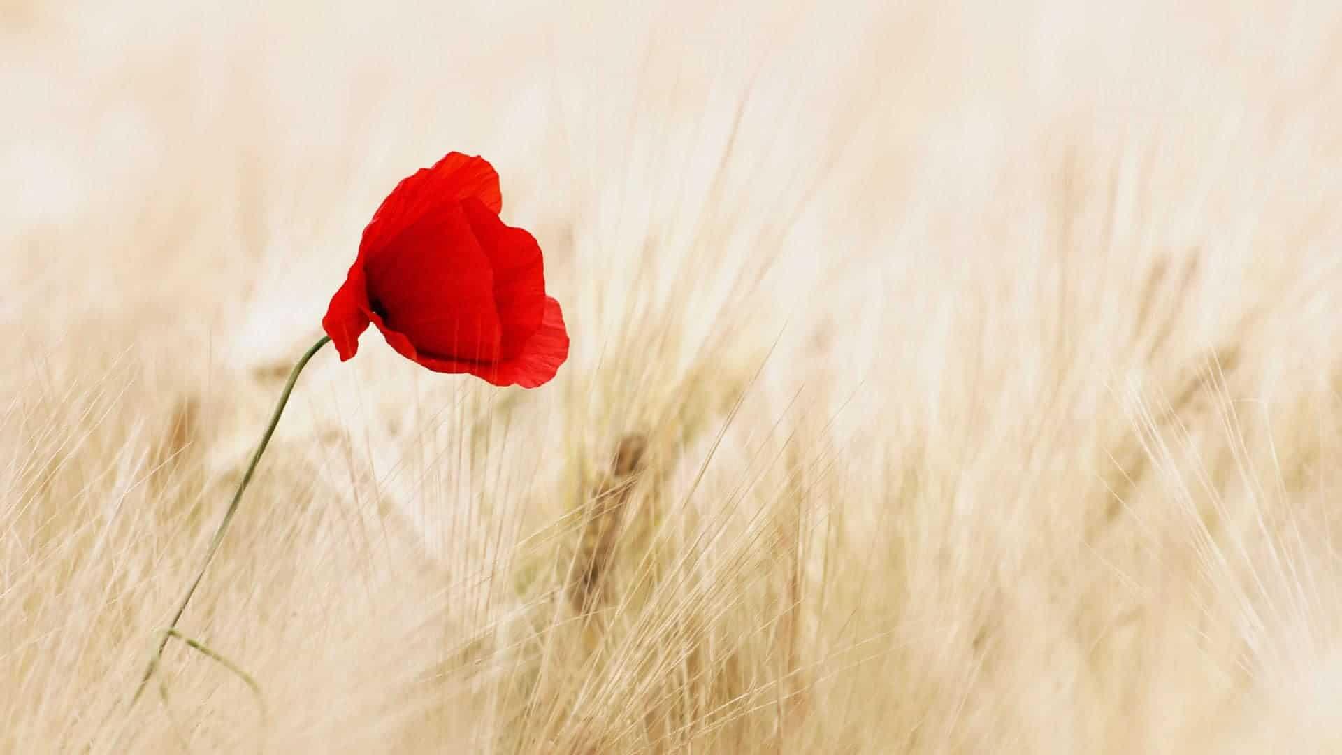 one red flower in a corn field